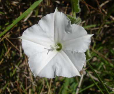 Convolvulus hermanniae