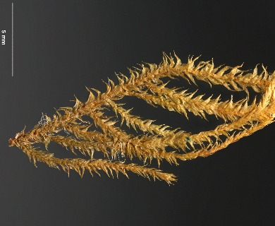 Cratoneuropsis relaxa