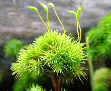 Dendroligotrichum squamosum
