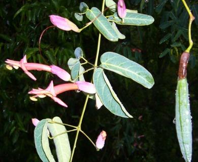 Dolichandra cynanchoides