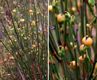 Ephedra chilensis