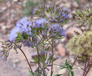 Eupatorium arnottianum