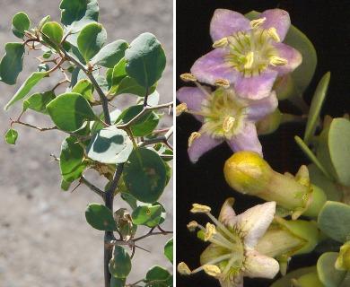 Grabowskia boerhaviifolia