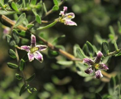 Lycium chilense