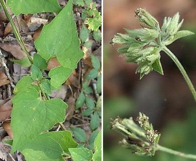 Mikania cordifolia