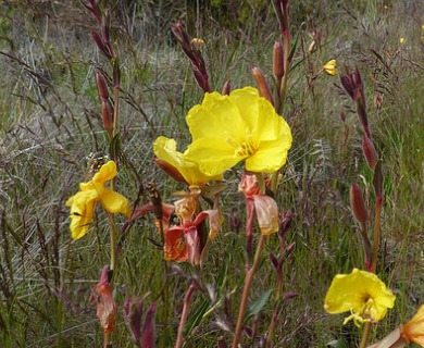 Oenothera stricta
