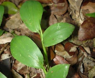 Pharus lappulaceus