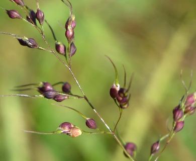 Piptochaetium montevidense