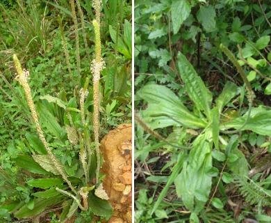 Plantago tomentosa