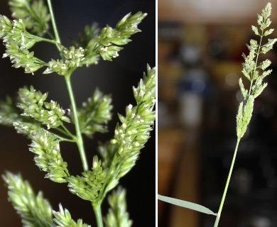 Polypogon viridis