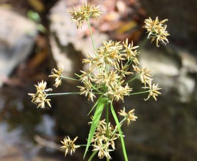 Rhynchospora corymbosa