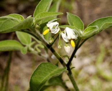 Solanum chenopodioides