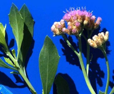 Tessaria absinthioides