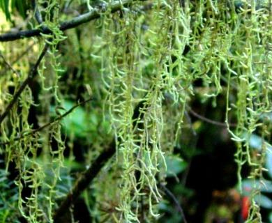Weymouthia mollis