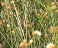 Baccharis spartioides