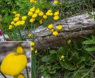 Calceolaria filicaulis