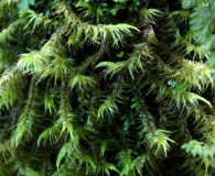 Dicranoloma robustum