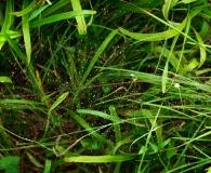 Eragrostis airoides