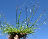 Eragrostis lugens