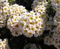 Heliotropium pycnophyllum