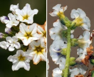 Heliotropium stenophyllum