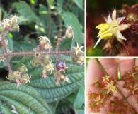 Leandra australis