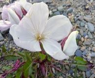 Oenothera acaulis