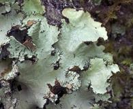 Parmotrema crinitum