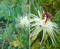 Passiflora misera