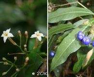 Psychotria leiocarpa