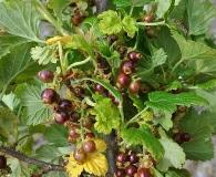 Ribes cucullatum