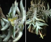 Tillandsia capillaris