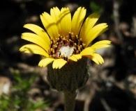 Trichocline aurea