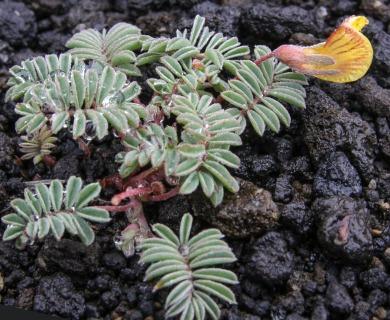 Adesmia longipes