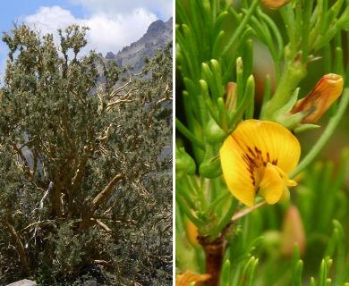 Adesmia pinifolia