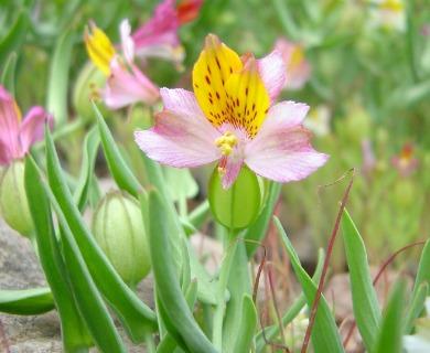 Alstroemeria graminea