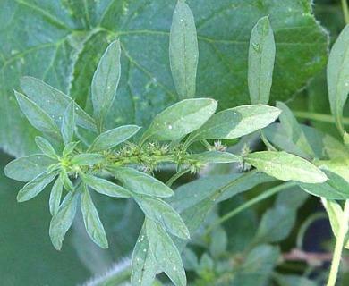 Amaranthus standleyanus