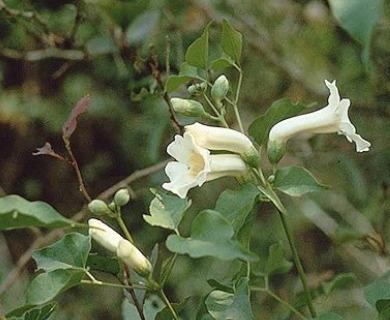 Amphilophium carolinae