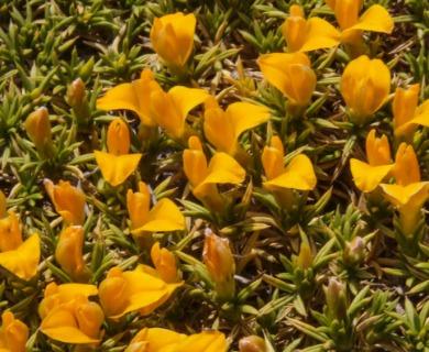 Anarthrophyllum cumingii