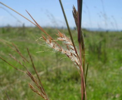 Andropogon lateralis
