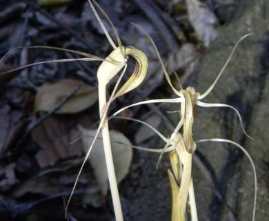 Arachnitis uniflora