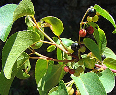 Aristotelia chilensis