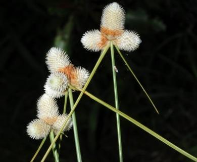 Ascolepis brasiliensis