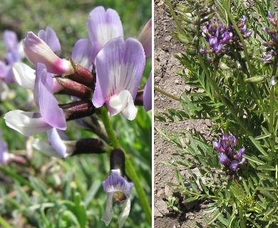 Astragalus looseri