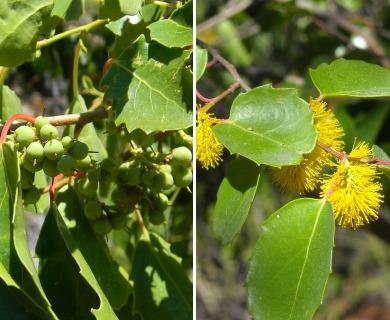 Azara petiolaris
