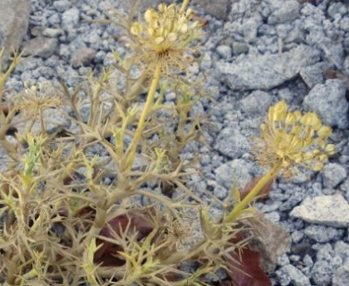 Azorella trifoliolata