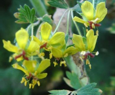 Balbisia gracilis