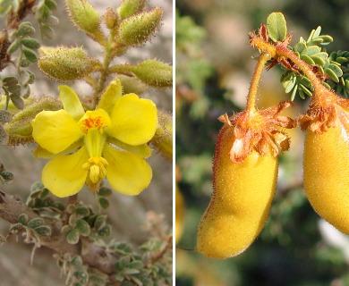 Balsamocarpon brevifolium