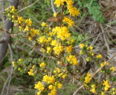 Berberis chilensis