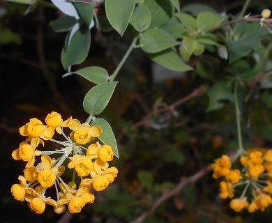 Berberis congestiflora